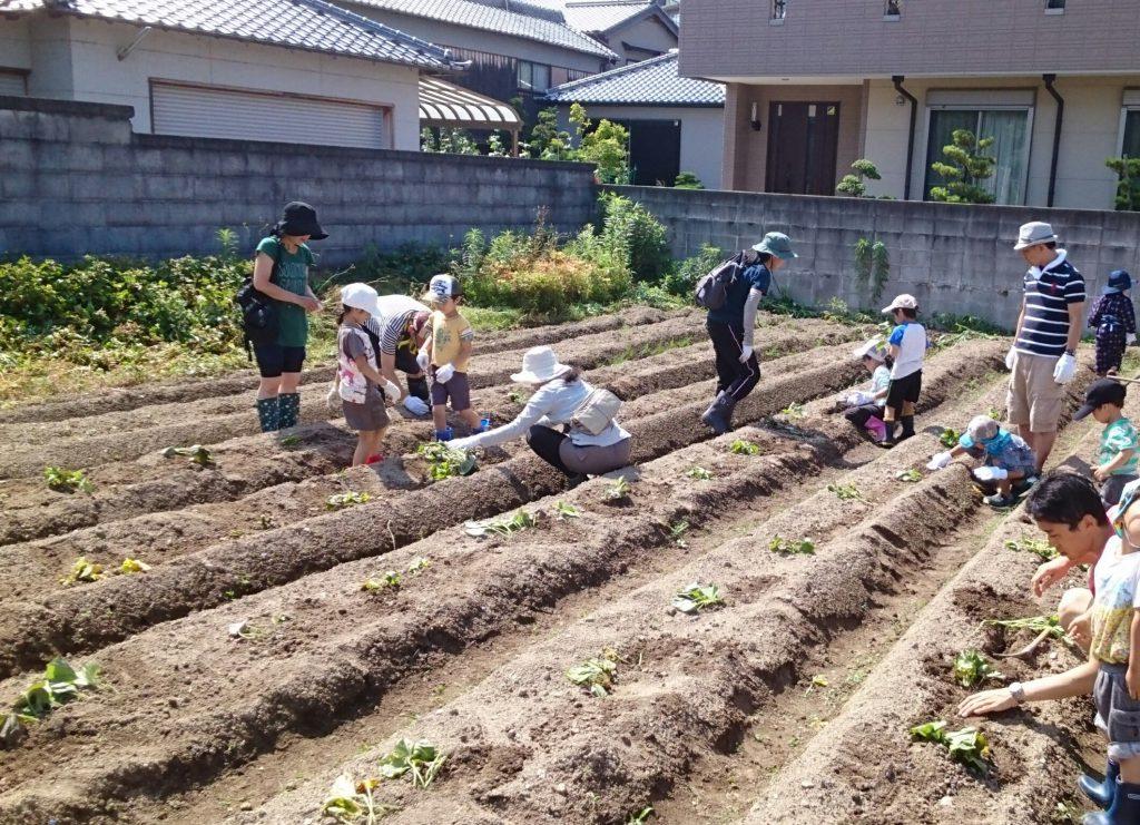 安倉の「ほーむべーす」で宝塚でも近所で田植えから収穫、芋掘りまで体験